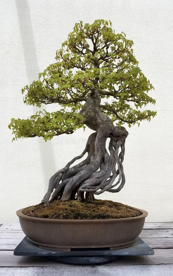 Albero miniatura dei bonsai immagini stock