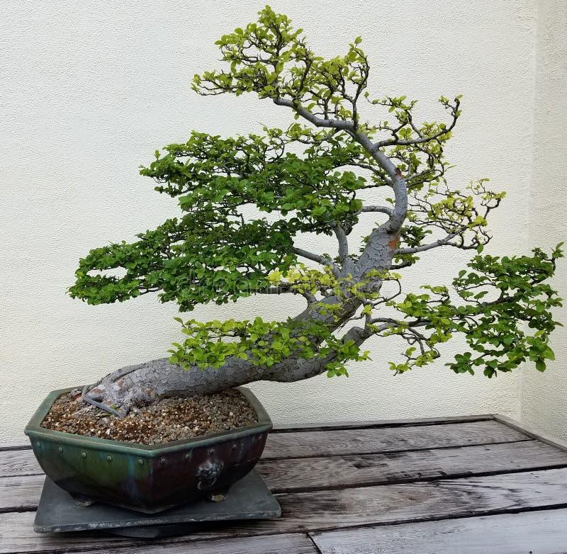 Albero miniatura dei bonsai immagini stock libere da diritti