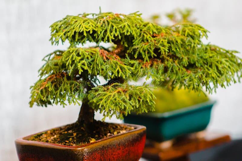 Albero miniatura dei bonsai su esposizione a Grand Rapids Michigan fotografia stock libera da diritti