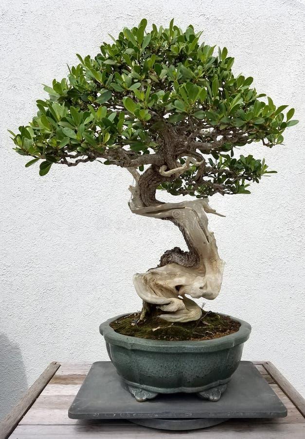 Albero miniatura di ficus dei bonsai fotografia stock libera da diritti