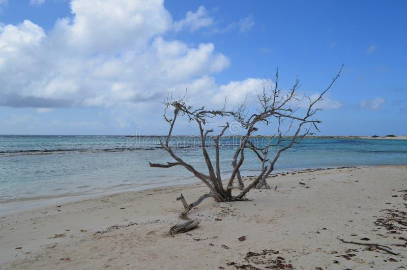 Albero morto del legname galleggiante sulla spiaggia di Aruba fotografie stock