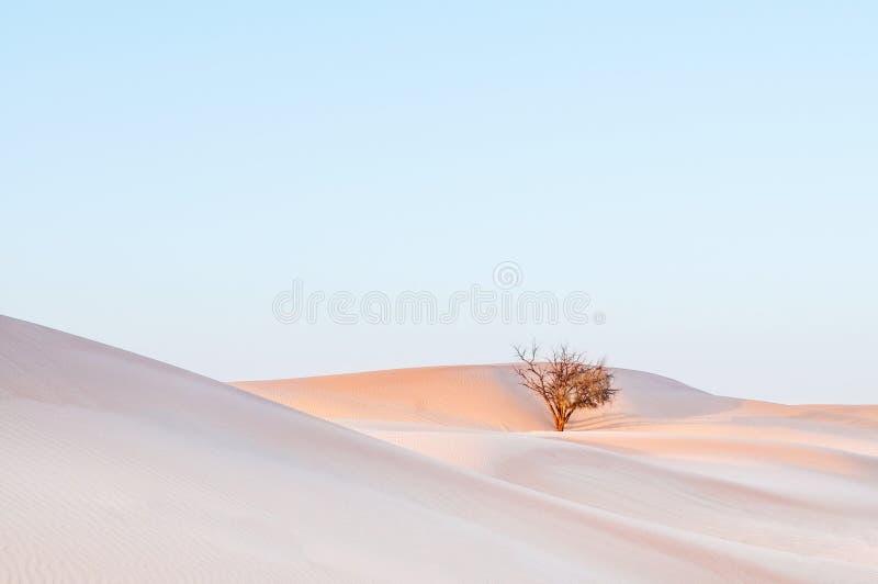 Albero morto in deserto, deserto di Al Wathba vicino ad Abu Dhabi, Emirati Arabi Uniti immagine stock