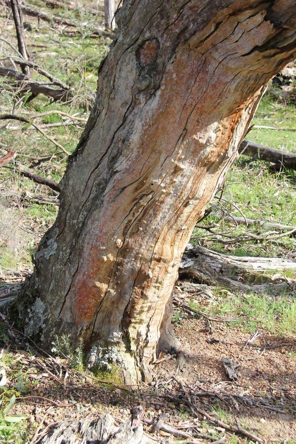 Albero morto - il distretto di Grampian, Victoria fotografia stock libera da diritti