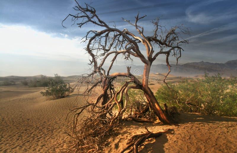 Albero morto nel deserto del Mojave - Death Valley California immagini stock libere da diritti