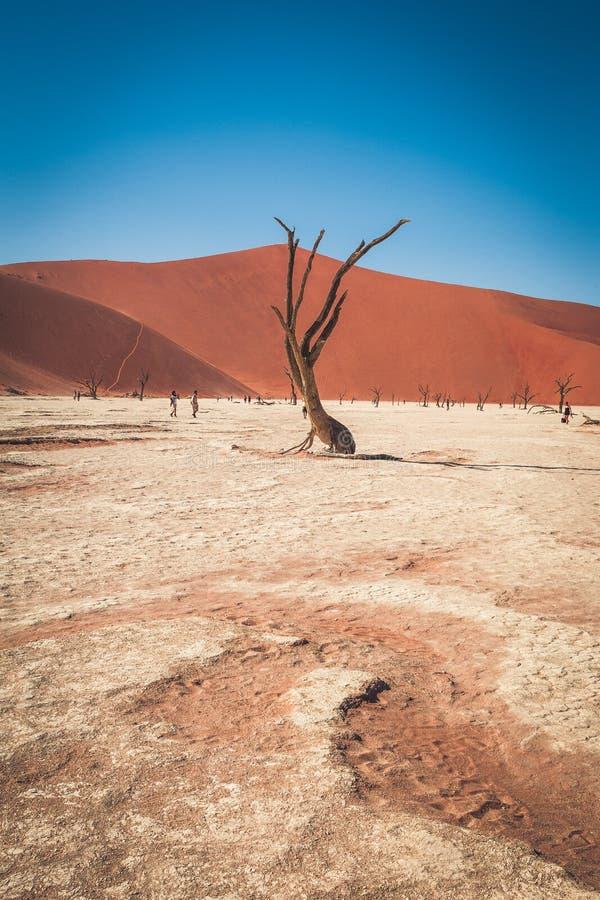 Albero morto nel deserto della Namibia a deadvlei, Sossusvlei, parco nazionale Namib-Naukluft, Namibia fotografia stock libera da diritti