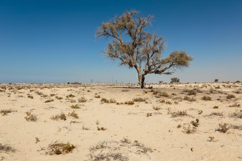 Albero morto solo nel deserto fotografia stock libera da diritti