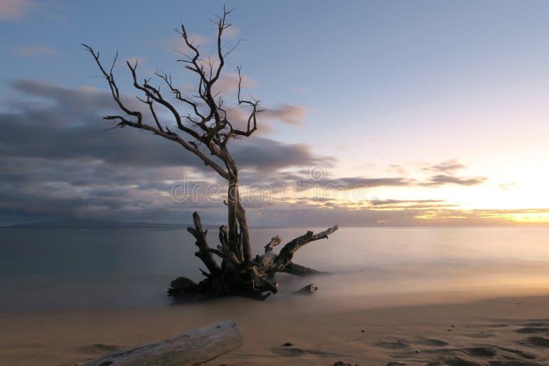 Albero morto sul litorale fotografia stock