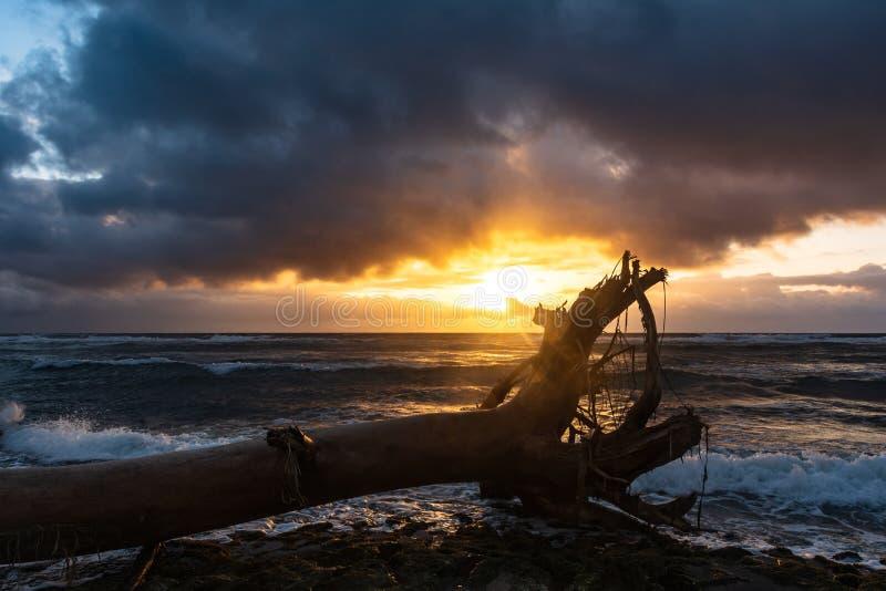 Albero morto sulla spiaggia su alba, Kauaii, Hawai fotografie stock