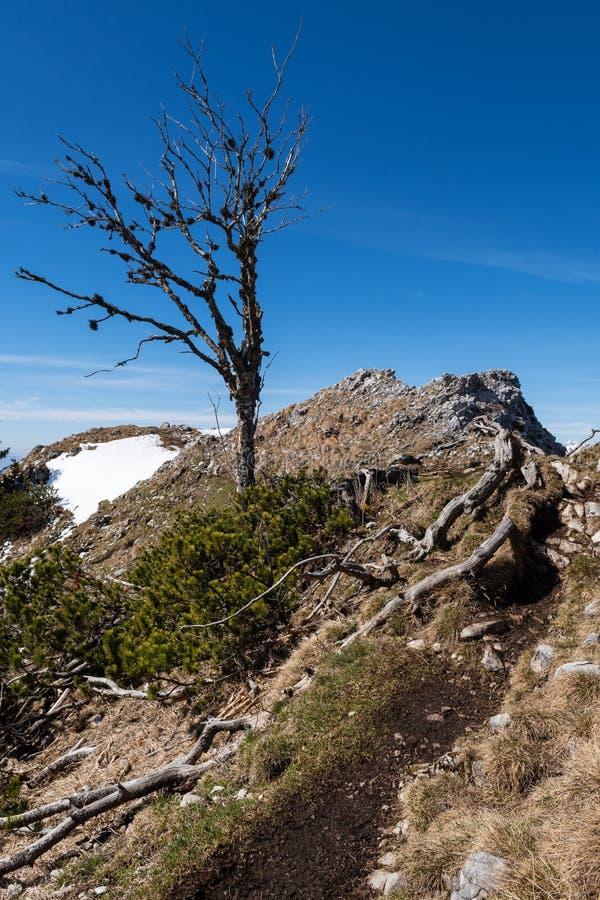 Albero morto sulla traccia di montagna alpina in molla in anticipo con le toppe visibili di neve fotografia stock
