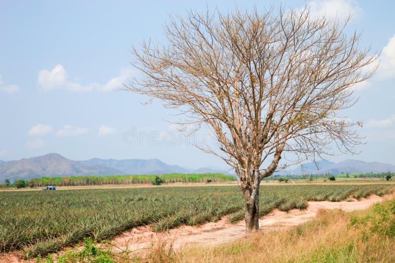 Albero naturale del paesaggio nell'azienda agricola dell'ananas fotografia stock