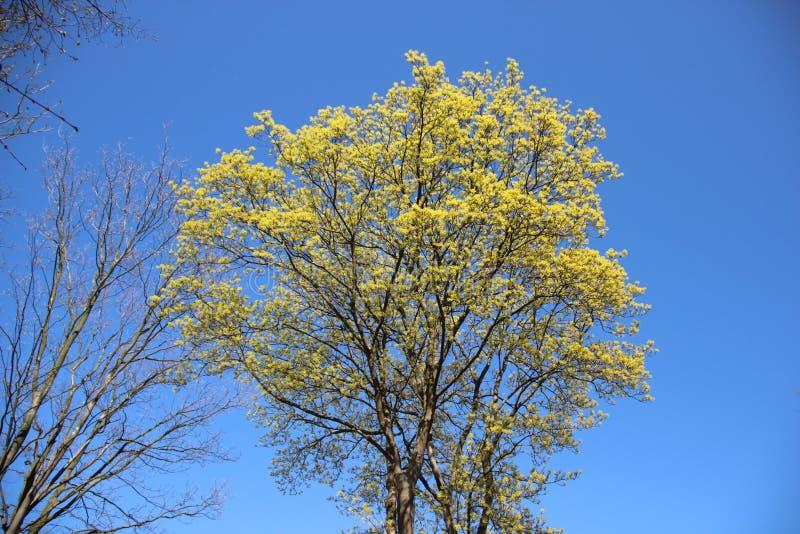 Albero in naturale puro di primavera fotografia stock libera da diritti