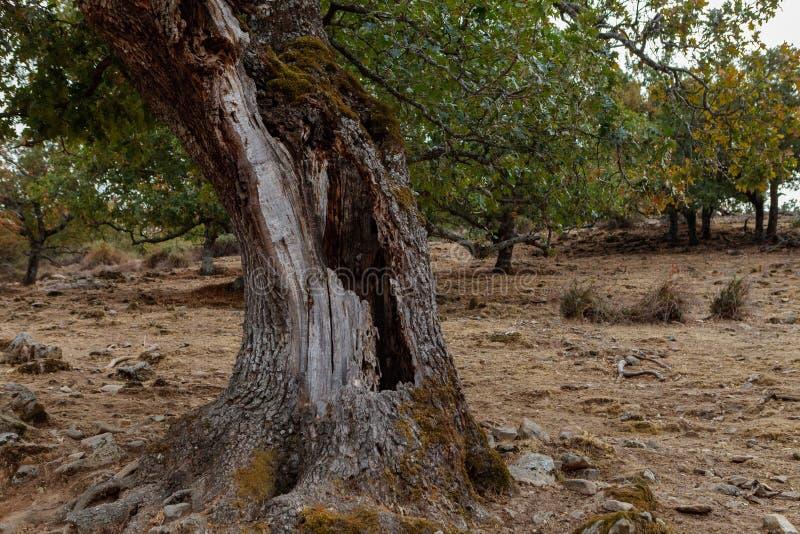 Albero nel campo con un foro nel suo tronco fotografia stock libera da diritti