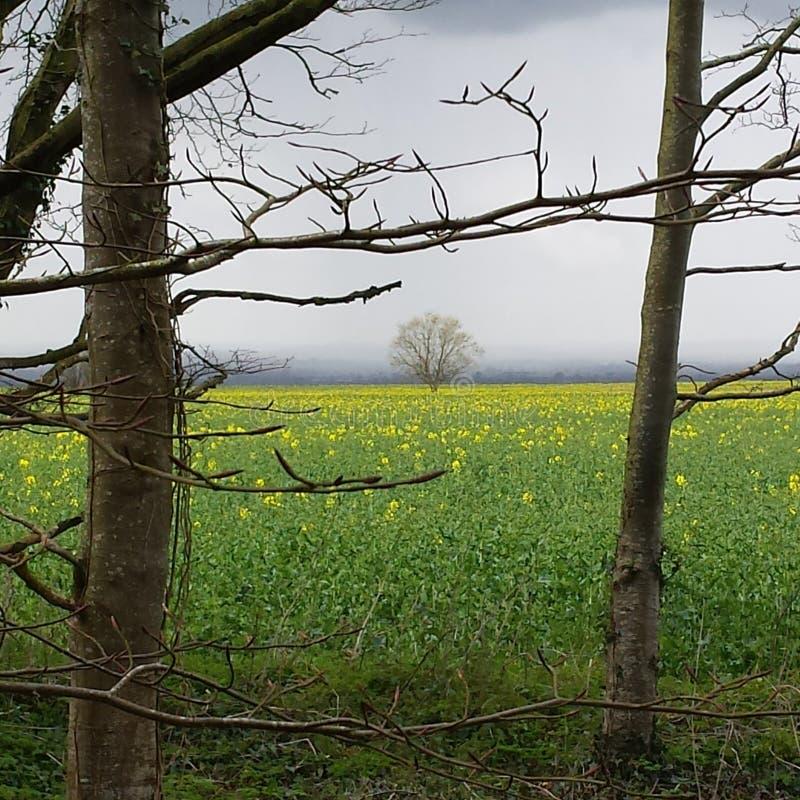 Albero nel campo giallo immagini stock