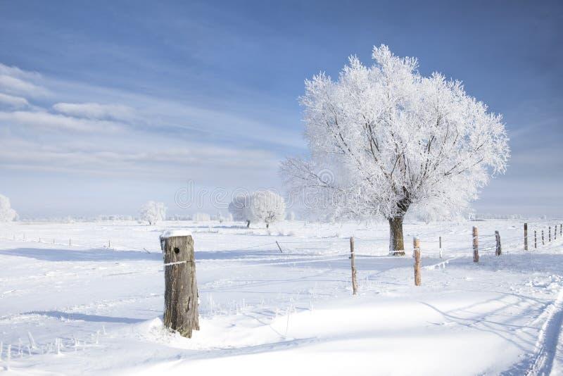 Albero nel gelo fotografie stock