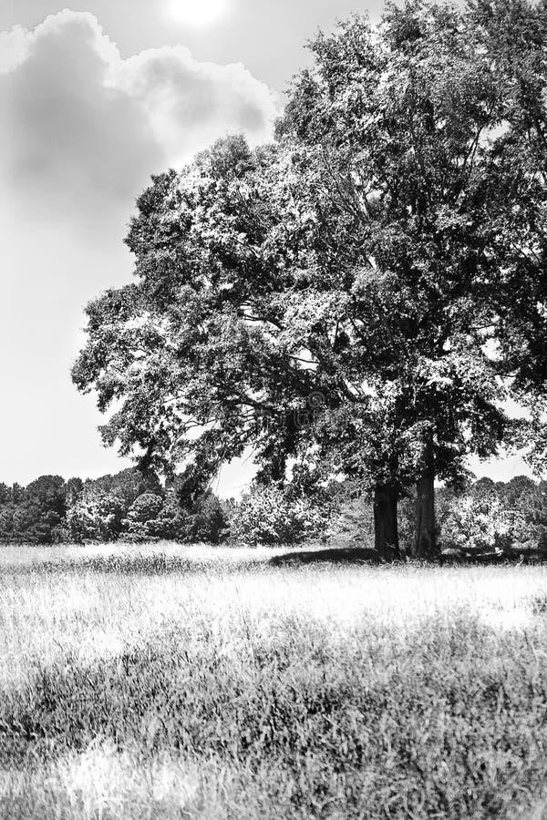 Albero nero & bianco nel campo fotografia stock