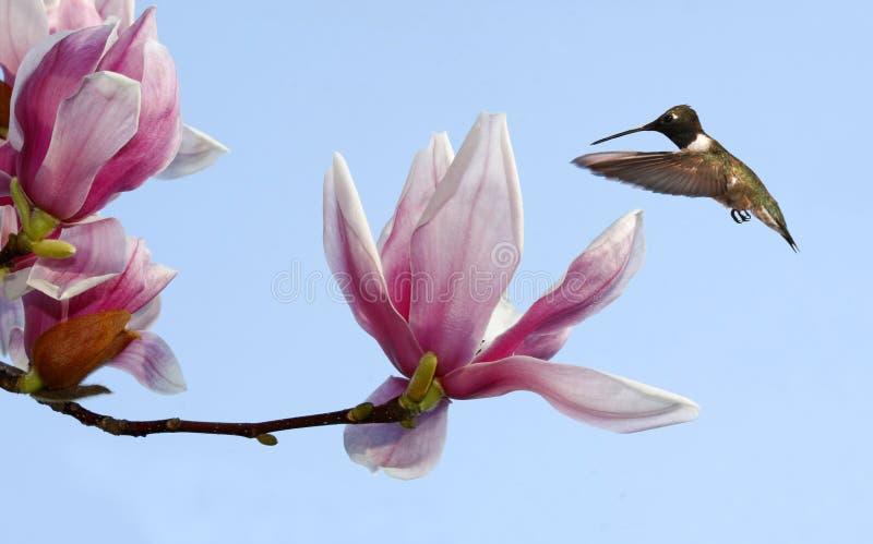 Albero Nero-chinned di tulipano e del colibrì immagine stock libera da diritti