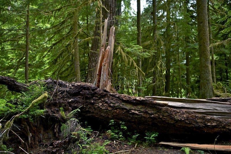 Albero nocivo foresta pluviale fotografia stock