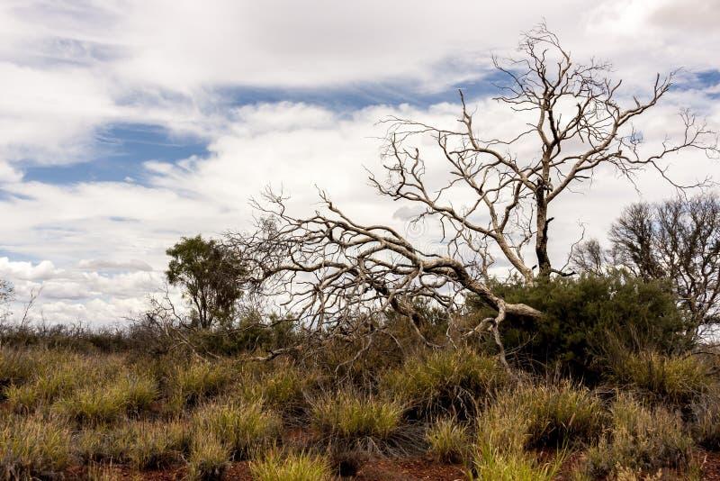 Albero nudo in deserto australiano, entroterra in Territorio del Nord, Australia fotografia stock