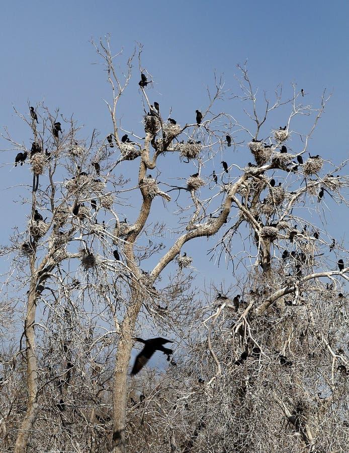 Albero nudo nella molla in anticipo ed in uccelli neri nel parco della città, Denver fotografia stock libera da diritti