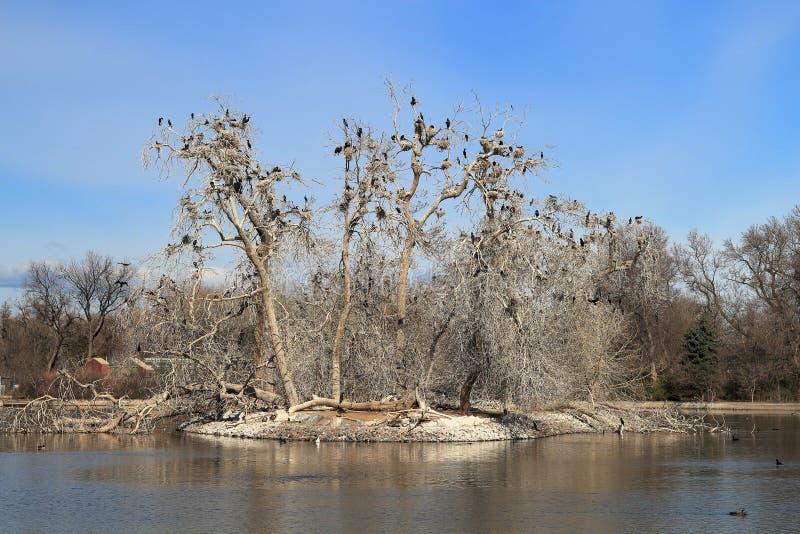 Albero nudo nella molla in anticipo ed in uccelli neri nel parco della città, Denver immagini stock libere da diritti