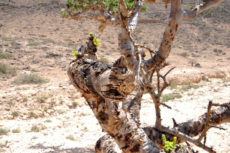 Albero Omani del frankincense immagine stock