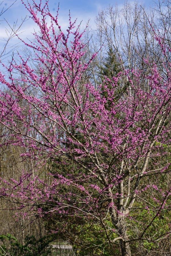 Albero orientale di Redbud - canadensis del Cercis immagini stock