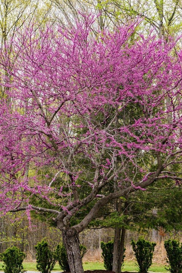 Albero orientale di Redbud - Cercis Canadensis - 2 fotografia stock