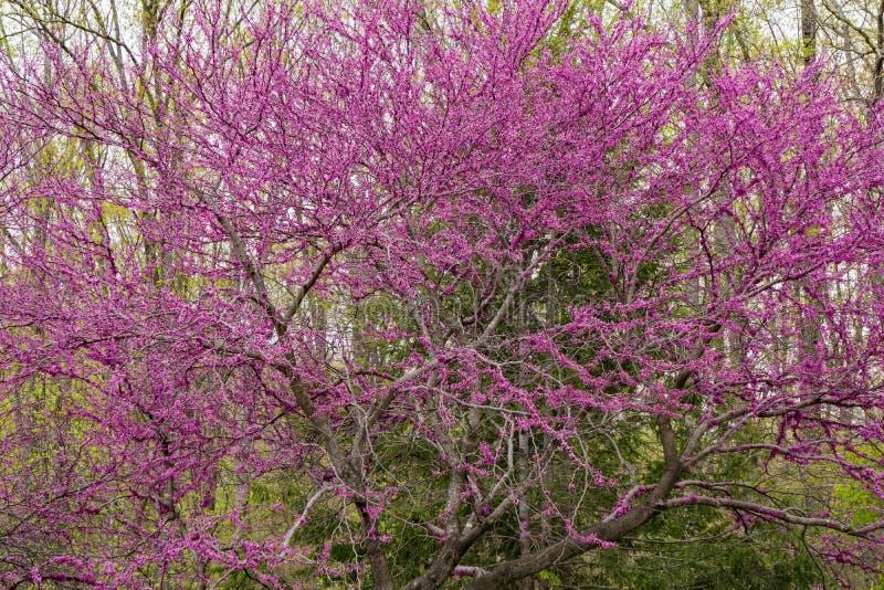 Albero orientale di Redbud - Cercis Canadensis - 3 immagine stock