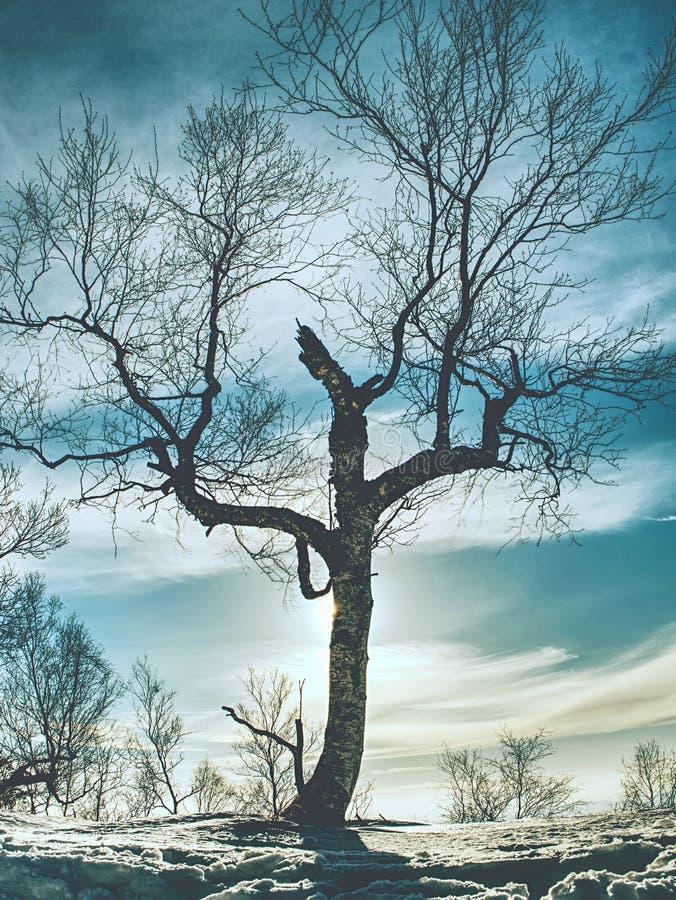 Albero piegato solo dopo molte bufere di neve di inverno immagine stock