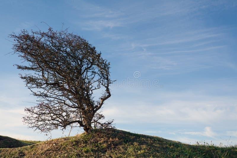 Albero piegato vento su una collina verde fotografie stock