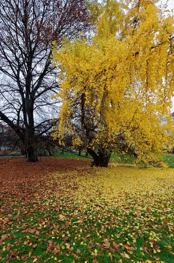 Albero in pieno dei fiori gialli fotografia stock libera da diritti