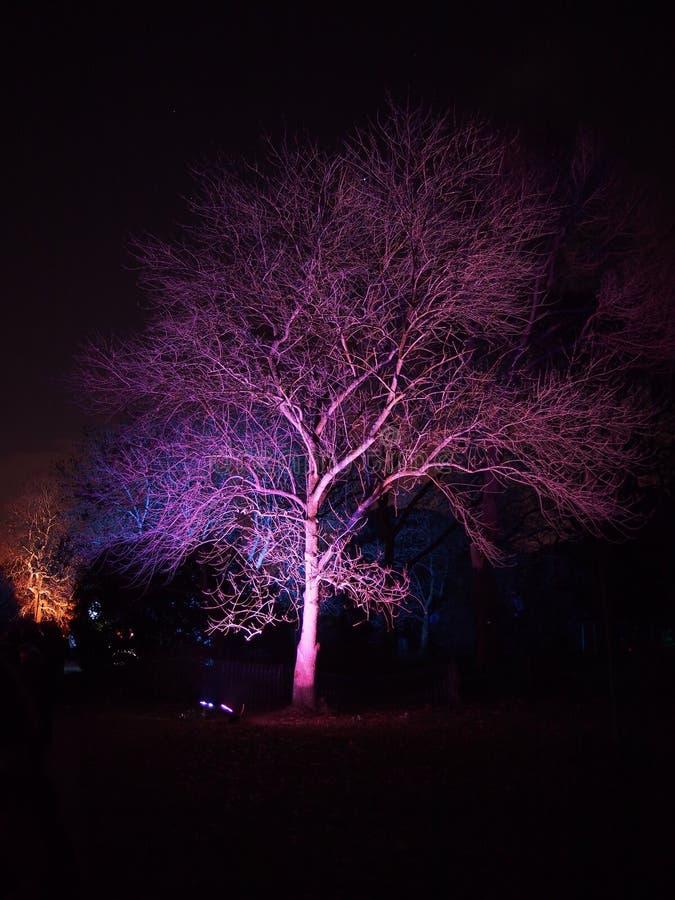 Albero porpora di mistero di notte nel giardino di Kew immagine stock libera da diritti