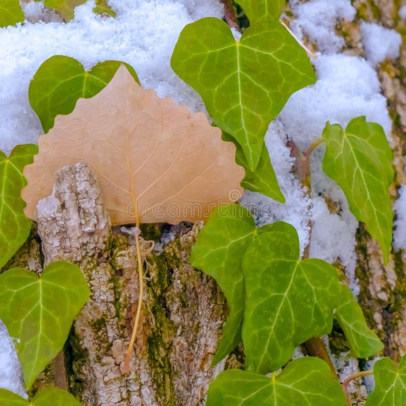Albero quadrato con le viti e le toppe haped cuore vibrante delle alghe che crescono sul suo tronco fotografie stock