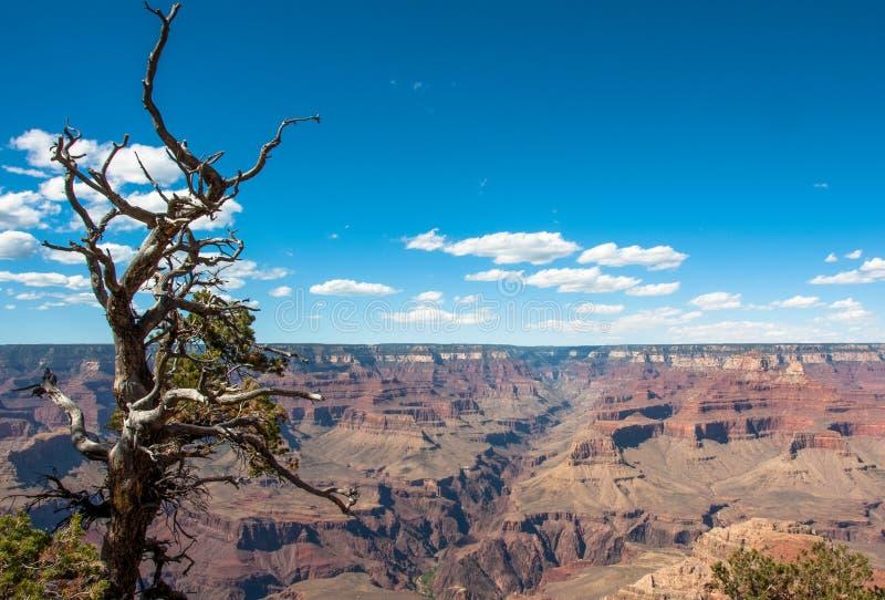 Albero raggrinzito sui precedenti del parco nazionale di Grand Canyon, Arizona U.S.A. immagini stock