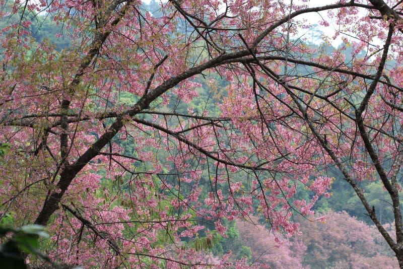 Albero rosa del fiore di sakura immagine stock immagine for Sakura albero