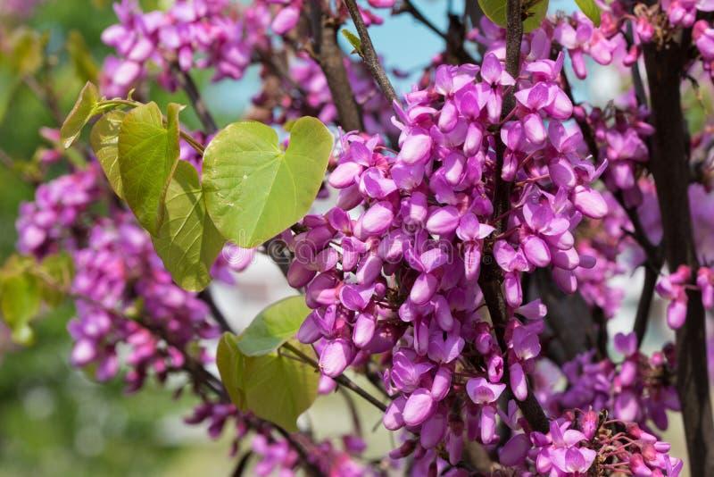 Albero rosa di fioritura dell'acacia con i bei fiori in primavera immagini stock