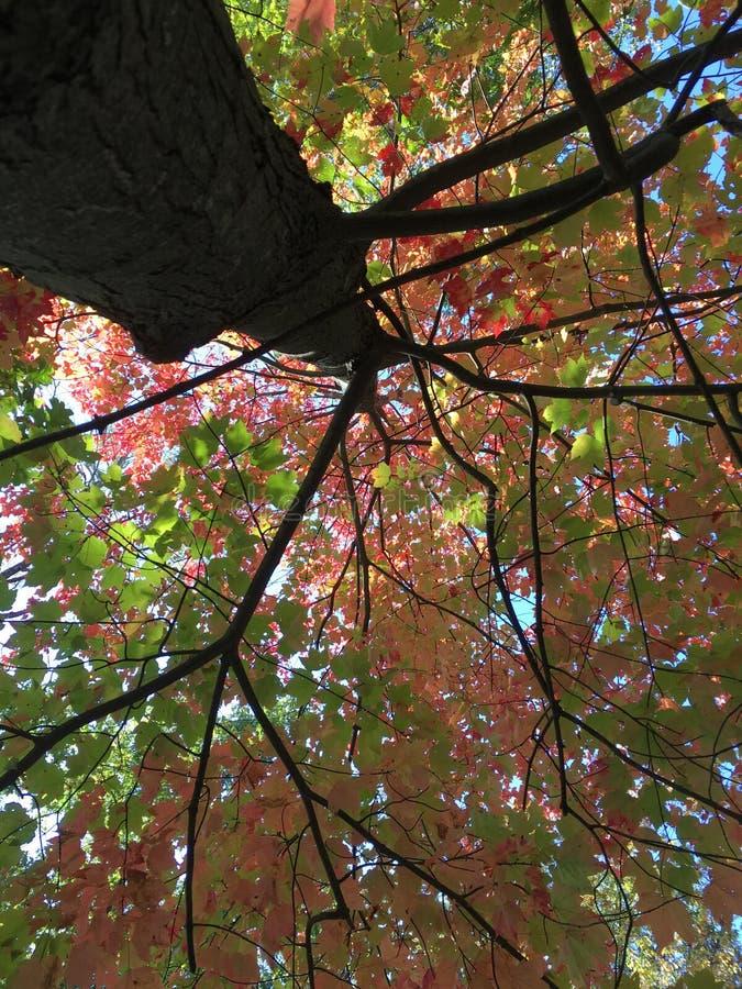 albero in rosa e foglie verdi di caduta fotografie stock