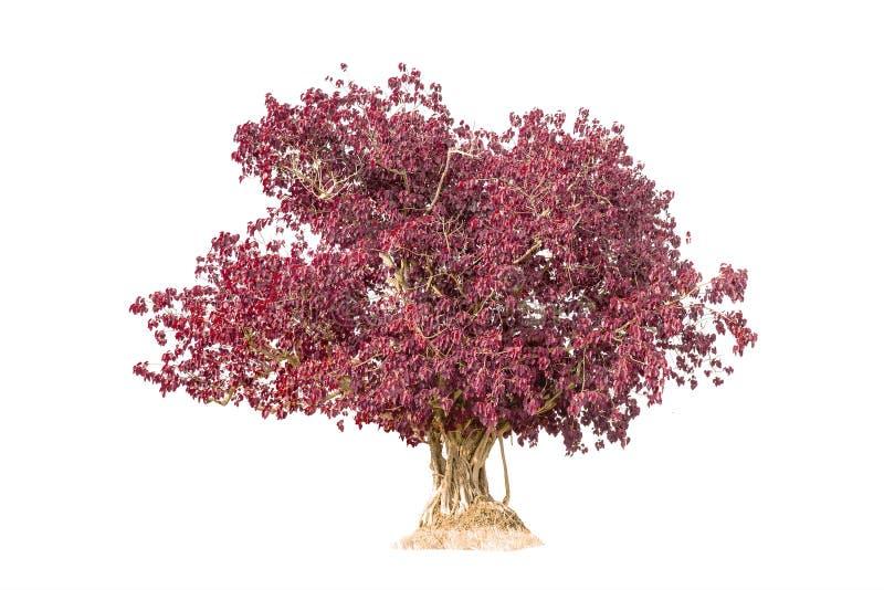 Albero rosa isolato contro la a sopra fondo bianco fotografia stock