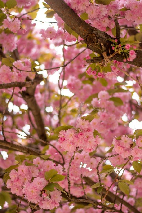 Albero rosa sbocciante fotografie stock