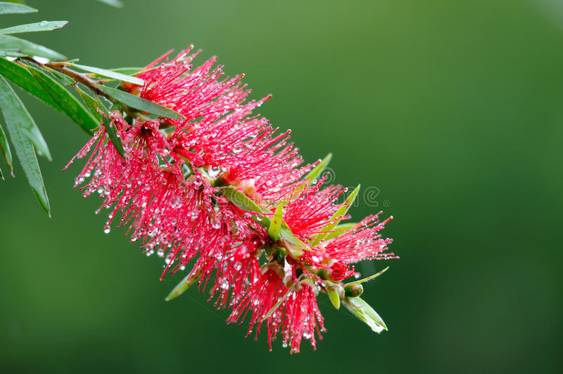 Albero rosso del bottle-brush (Callistemon) fotografia stock