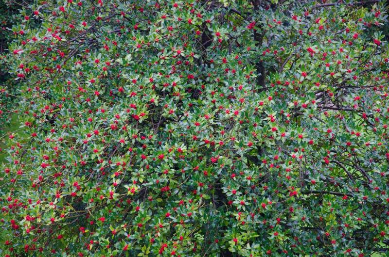 Albero rosso delle bacche immagini stock libere da diritti