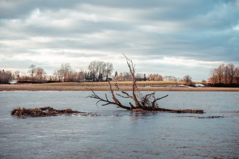 Albero rotto che galleggia nel fiume sommerso primavera fotografie stock