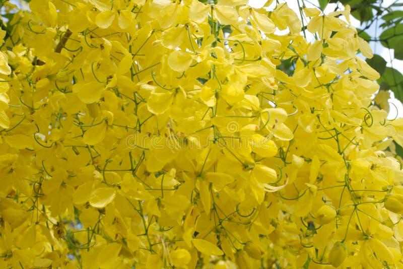 Albero sbocciante a catena dorato, modello giallo del fondo dei fiori immagine stock libera da diritti