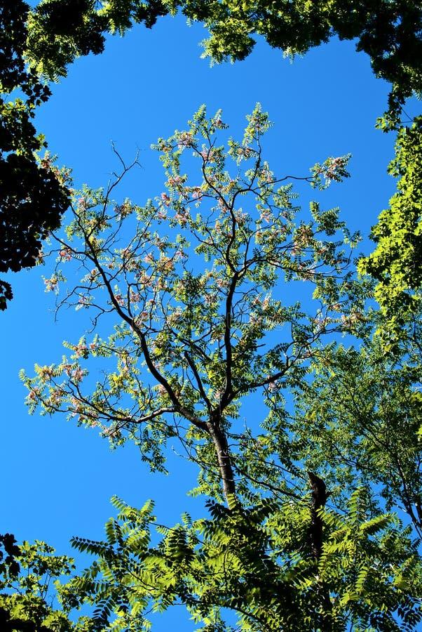 Albero sbocciante contro il cielo blu fotografia stock