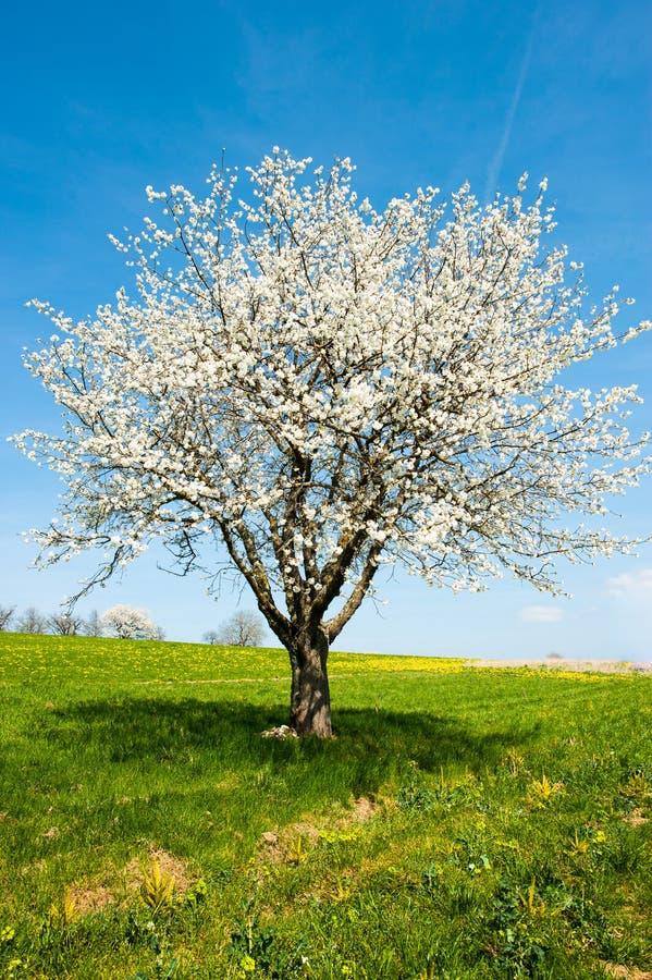 Albero sbocciante in primavera immagine stock libera da diritti