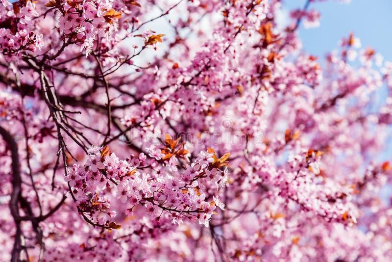 Albero sbocciante rosa della magnolia, per fondo fotografia stock