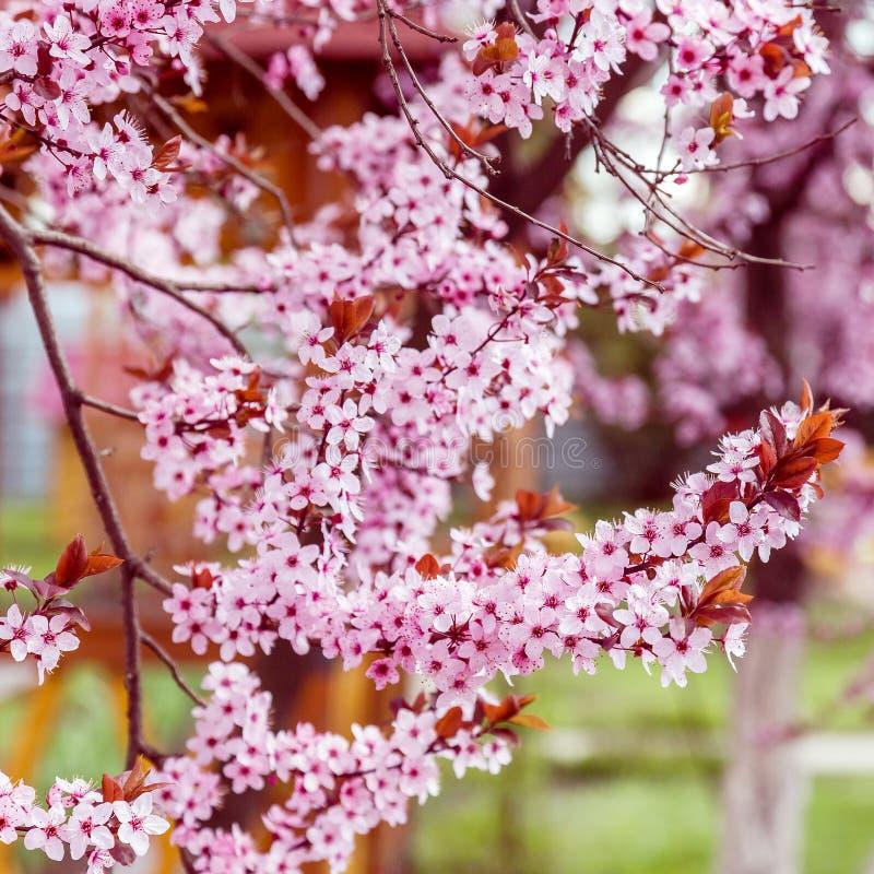 Albero sbocciante rosa della magnolia per un fondo immagine stock