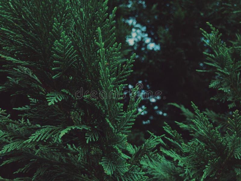 Albero sempreverde approfondito fotografia stock