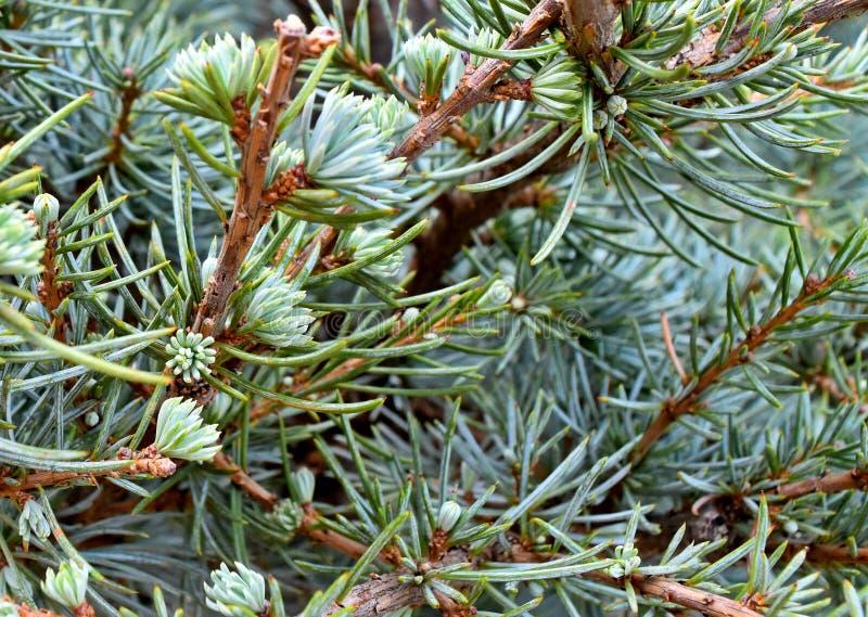 Albero, sempreverde, cedro dell'Atlante blu fotografia stock