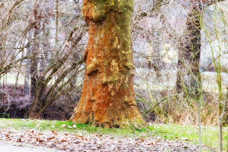 Albero senza corteccia nel parco immagine stock